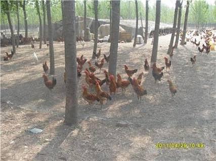 家禽养殖基地供应纯种笨鸡苗
