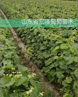 东方蓝宝石葡萄嫁接苗销售-平度市汇泽苗木园艺场