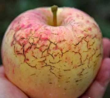 果树缺钙会导致果实裂果,但是裂果并不都是缺钙导致的