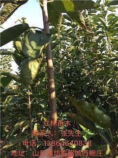 山东潍坊樱桃树 大樱桃苗的价格 樱桃树苗购买