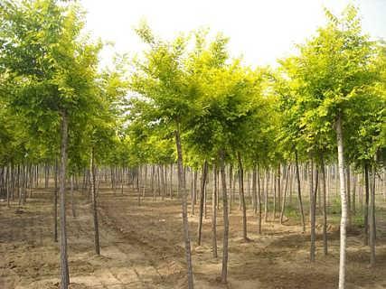 山东国槐种植-郓城县昊源苗木种植场