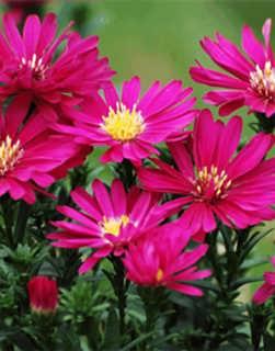 邯郸上杯荷兰菊花卉_上杯荷兰菊花卉苗木-振河园林