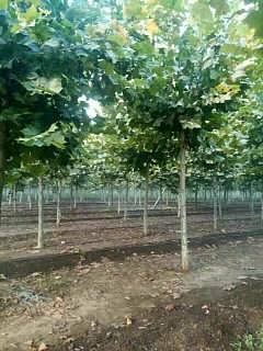 济宁销售法桐小苗-济宁市任城区金丰苗木种植专业合作社