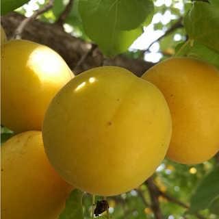 杏树苗品种香杏树苗批发