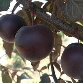 钙果苗 钙果树苗 钙果种苗