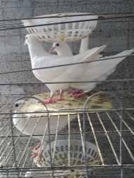 济宁基地直销肉鸽种鸽-山东红旗畜牧养殖场