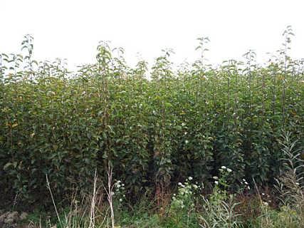 山�|泰安果苗繁育