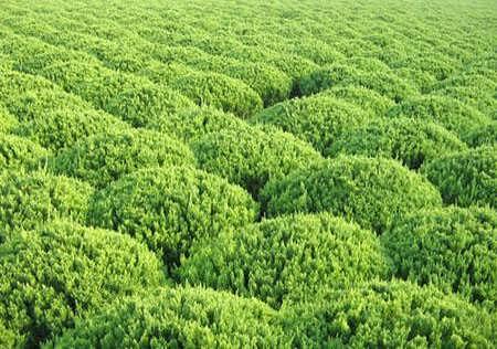 保定侧柏种植基地给侧柏剪个枝岂不是分分钟的事-定州强盛苗圃园艺场