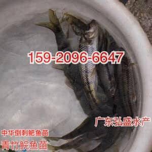 全国空运四川泸州鮰鱼苗养殖基地叉尾鱼苗批发价格斑点叉尾鮰鱼苗