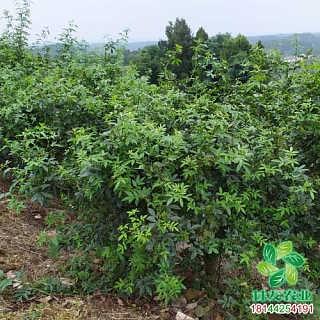 荔波县产量高的藤椒苗咸宁嫁接无刺藤椒苗圃管理