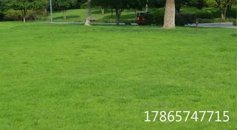 常见的绿化草坪种子价格