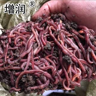 大平三号蚯蚓种全国发货