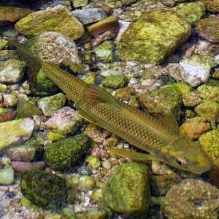 赤鳞鱼养殖