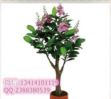 紫薇树是中国珍贵的环境保护植物.