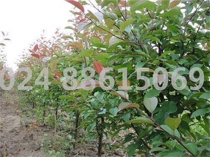 果树绿化光辉海棠树  [免费注册]  数量(件) 价格(元/件) 发布时间