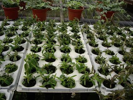 石斛种植要点铁皮石斛种植技术推广图片