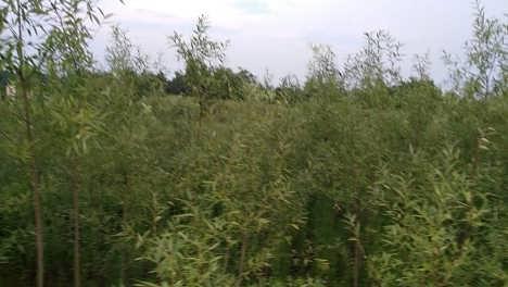 云南杨柳树基地,云南杨柳树品种,云南杨柳树特点,云南