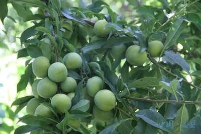 壁纸 果树 矢量 树 水果 小果 植物 400_266